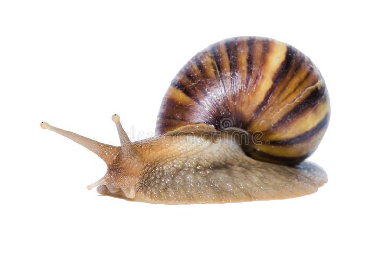 关闭在白色背景隔绝的蜗牛 免版税库存照片