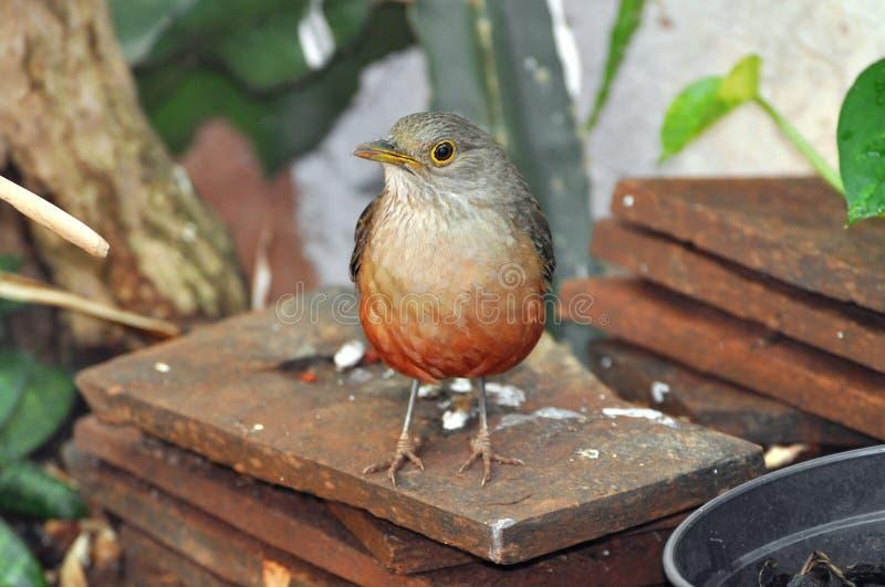 关闭在砖的一只Sabia Laranjeira鸟 免版税库存照片