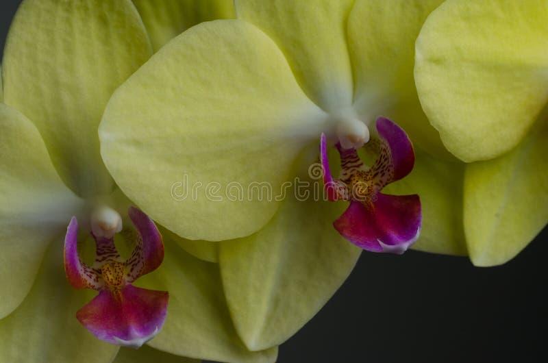 关闭在空白黄色的查出的兰花 库存图片