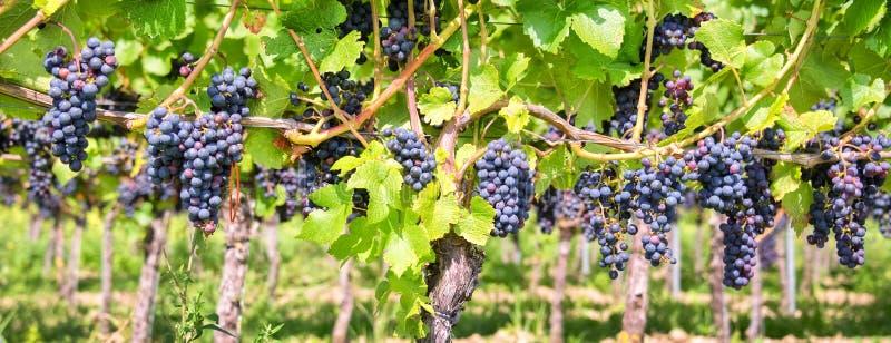 关闭在红色黑葡萄在葡萄园里,全景背景,葡萄收获 免版税库存图片