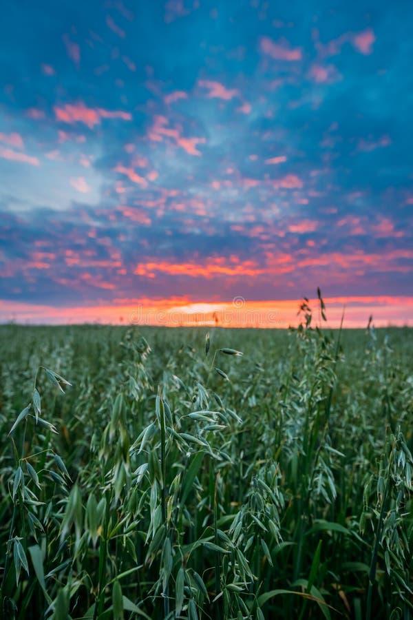 关闭在绿色年轻燕麦种植园风景的燕麦小花  库存图片