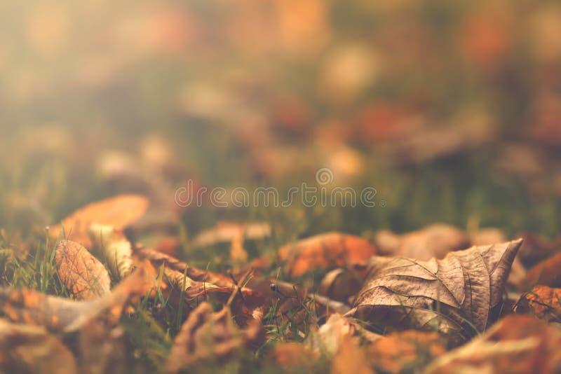 关闭在绿色草甸的第一秋叶在明亮的早晨阳光-表面无光泽的葡萄酒神色下 免版税库存图片