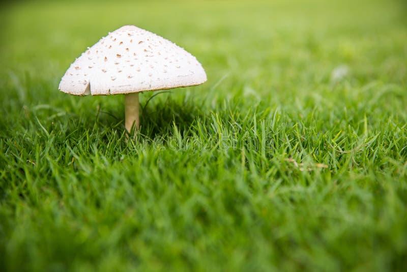 关闭在绿草后院的白色蘑菇 从真菌和绿色领域的自然墙纸 自然背景的图象 免版税库存照片