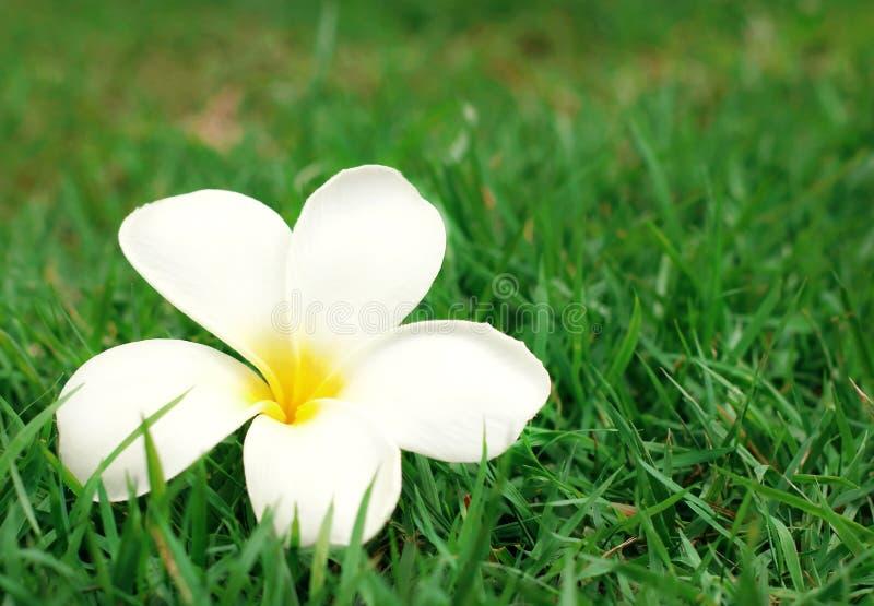 关闭在绿草背景的白色黄色羽毛花赤素馨花 免版税库存照片