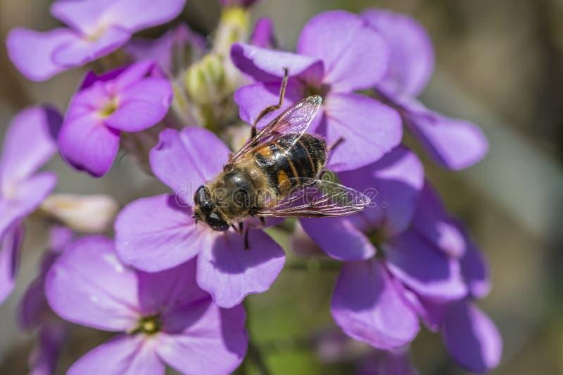 关闭在美丽的紫色花的一只蜂 免版税库存图片