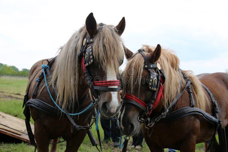 关闭在美丽的鞔具的草稿重的马在草甸 免版税库存照片