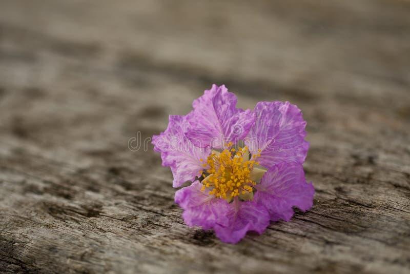 关闭在老木书桌上的紫罗兰花 免版税库存照片