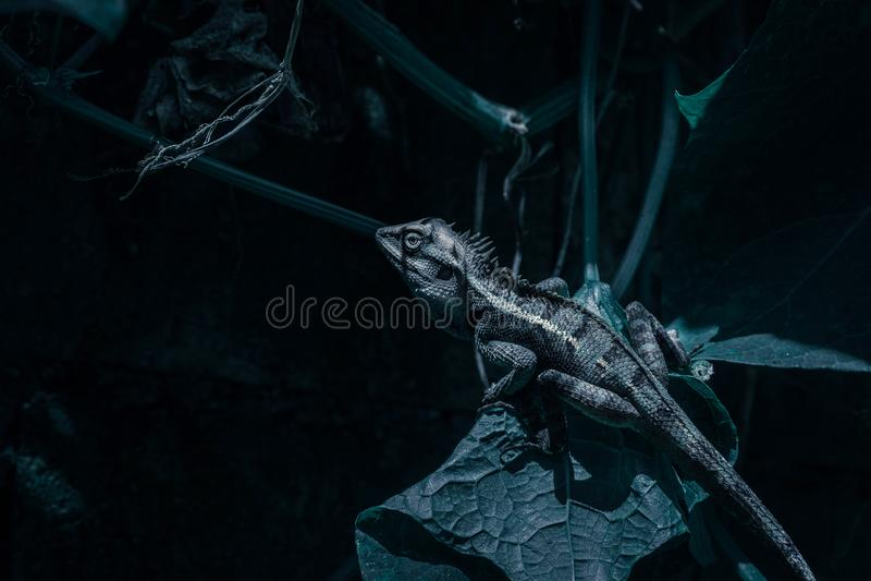 关闭在自然绿色背景的泰国变色蜥蜴 免版税库存照片