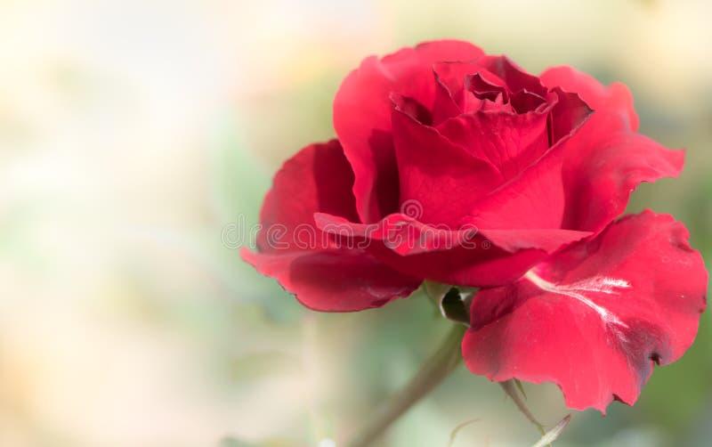关闭在自然背景的新鲜的红色玫瑰花 免版税库存照片