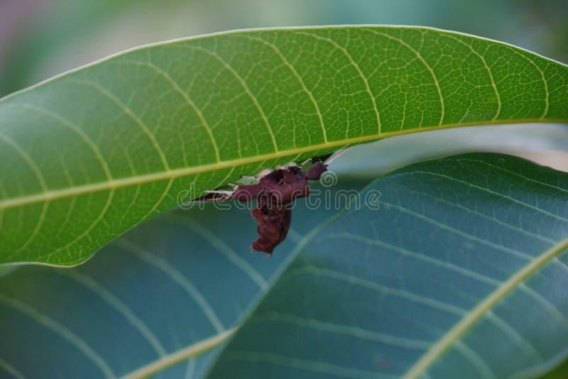 关闭在芒果树叶子的蜘蛛飞蛾 免版税库存照片