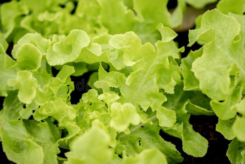 关闭在莴苣沙拉的看法,有机菜耕种 库存图片