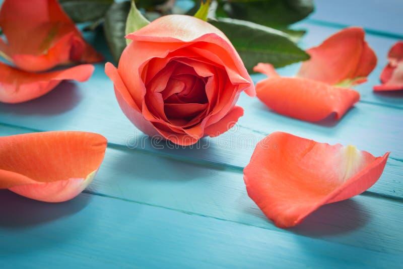 关闭在蓝色木头,葡萄酒定调子的新鲜的玫瑰,有选择性 库存照片
