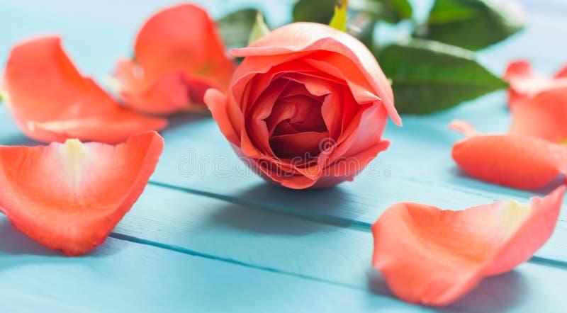 关闭在蓝色木头,选择聚焦的新鲜的玫瑰 库存照片