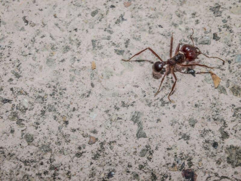 关闭在边路的路面的一只蚂蚁 免版税库存照片