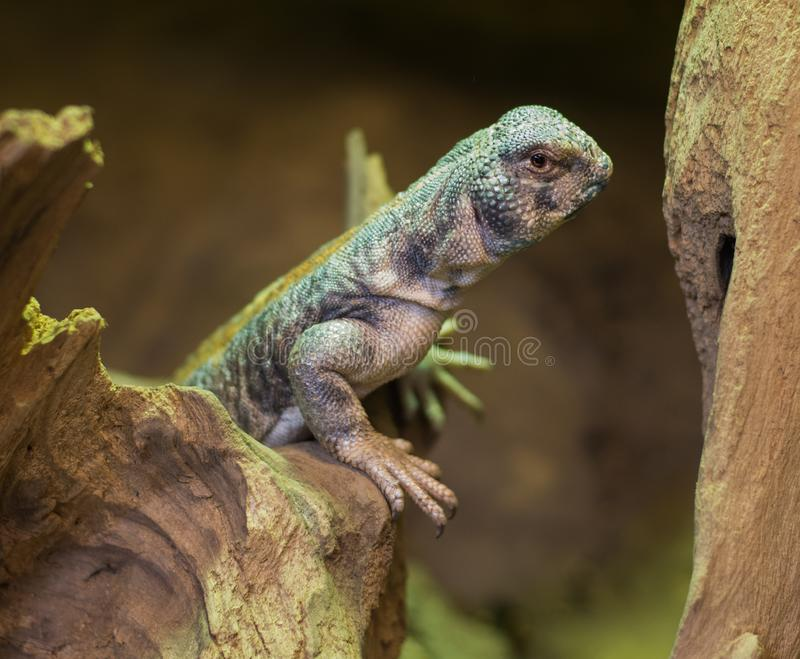 关闭在阿曼多刺的被盯梢的蜥蜴uromastyx thomasi 库存图片