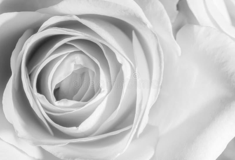 关闭在黑白的一朵玫瑰 库存照片