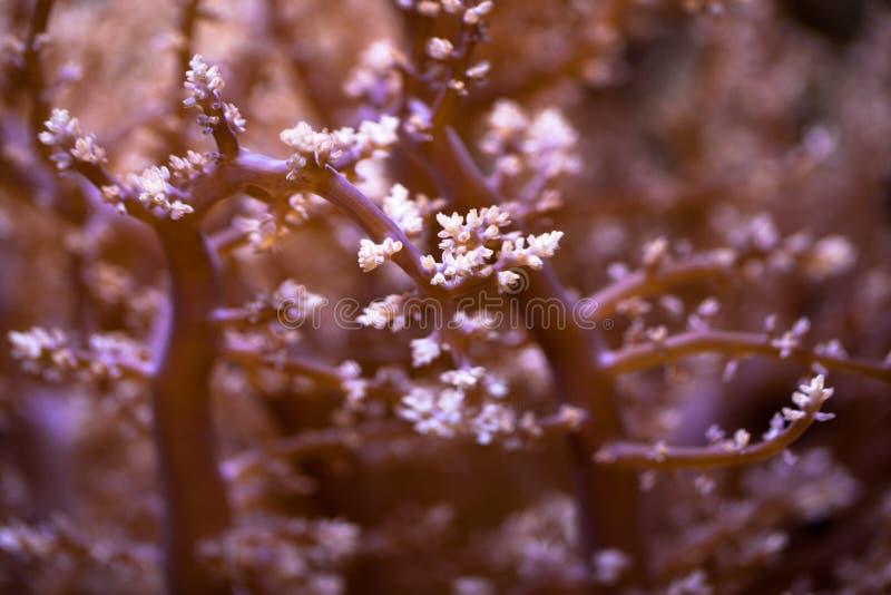 关闭在水族馆的桃红色软的珊瑚 免版税库存图片