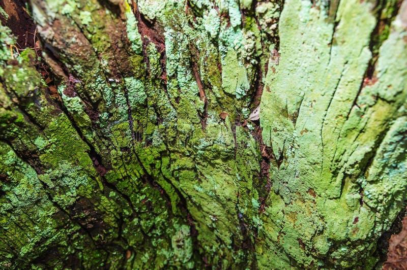 关闭在绿色青苔盖的分解的树皮 免版税库存照片
