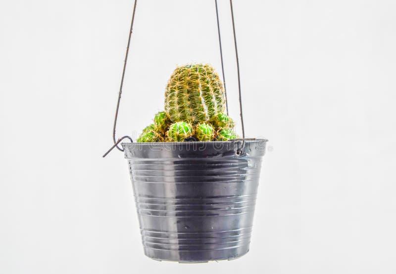 关闭垂悬在白色背景,垂悬为家庭装饰的仙人掌的一个小黑罐的仙人掌 免版税库存图片