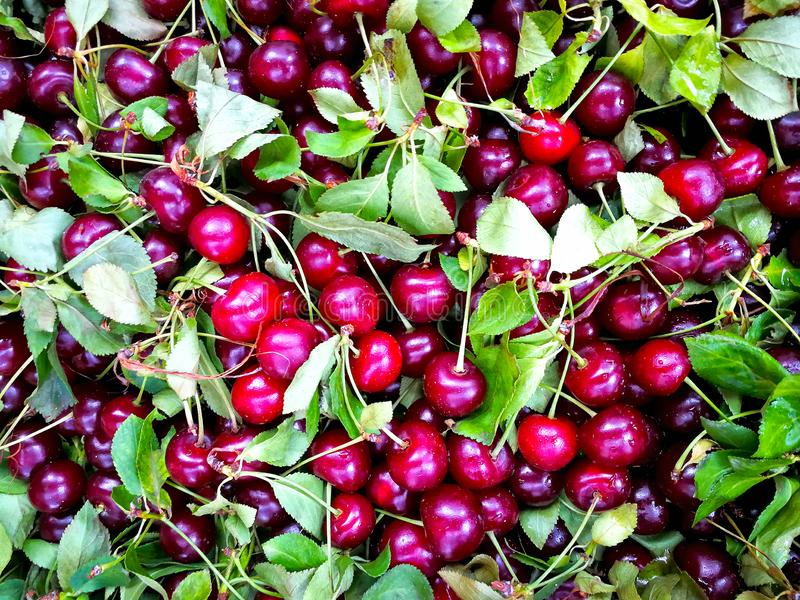 关闭堆与茎和叶子的成熟樱桃 新鲜的红色樱桃的大收藏量 成熟背景的樱桃 免版税库存照片