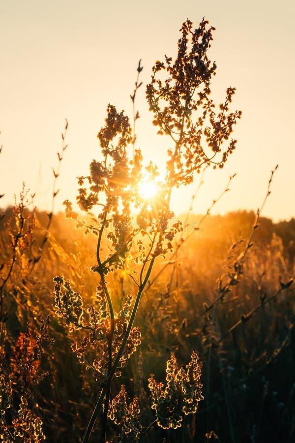 关闭夏天干燥秋天草在日落日出阳光下 免版税图库摄影
