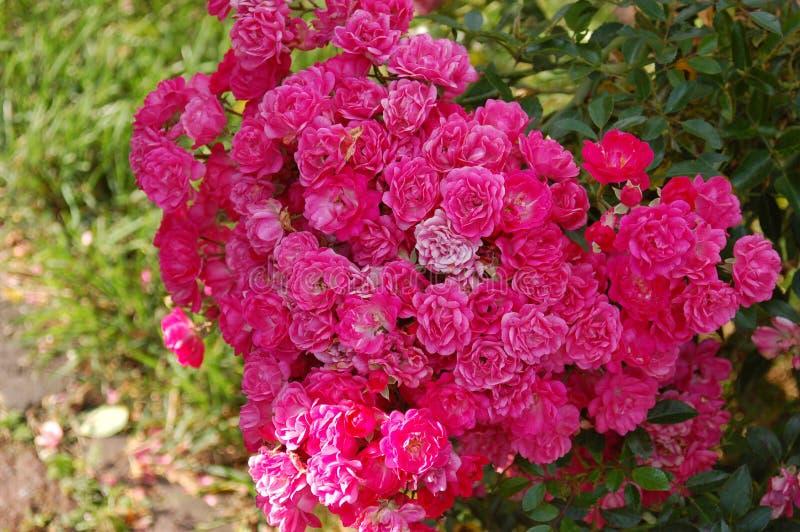 关闭大紫红色的玫瑰丛 库存图片