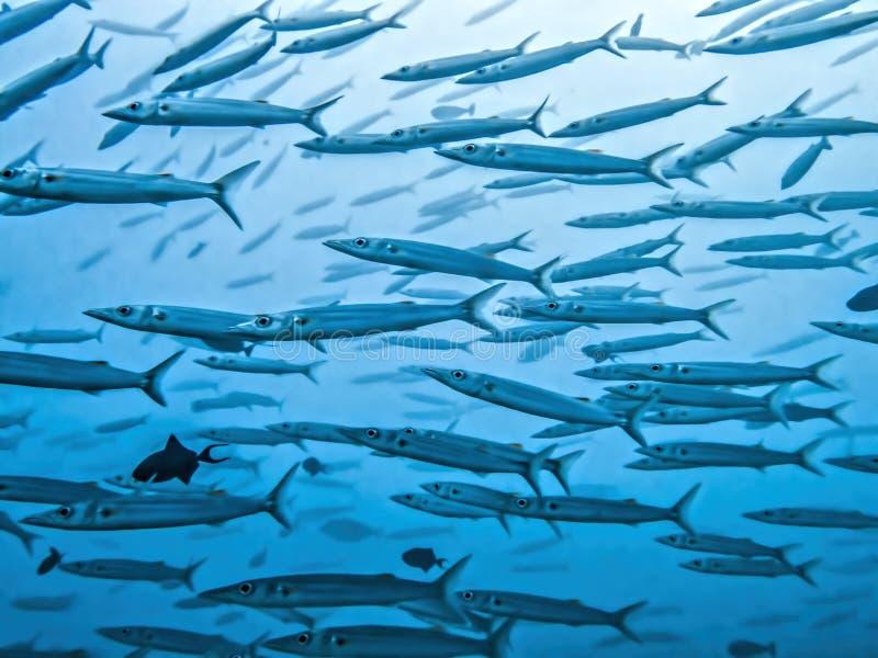 关闭大被注视的梭子鱼学校在蓝色海洋图象的 库存照片