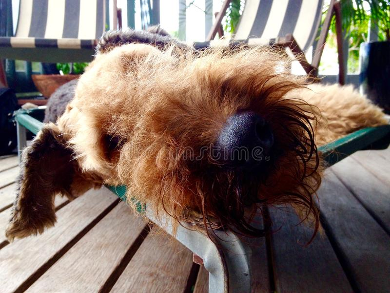 关闭大黑变冷爱犬的鼻子和长毛的面孔睡觉和  免版税库存图片