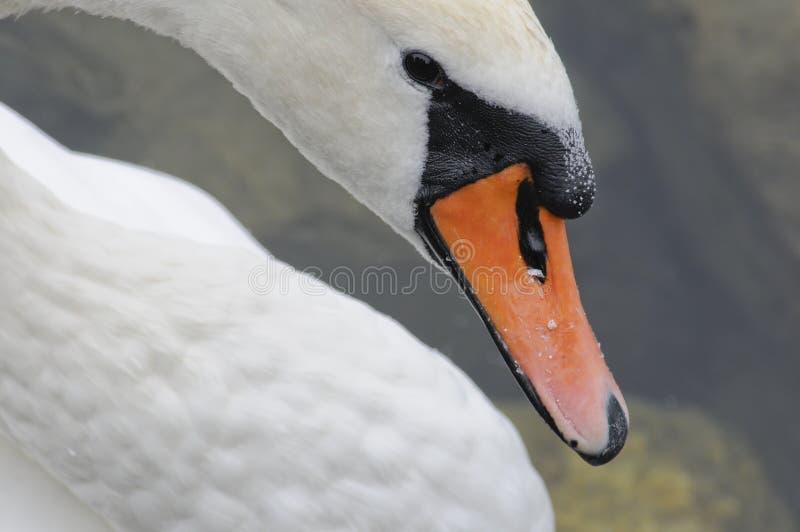 关闭天鹅的头 库存照片
