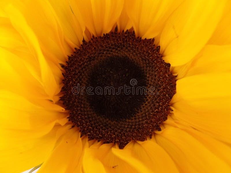 关闭太阳花的图象 库存图片