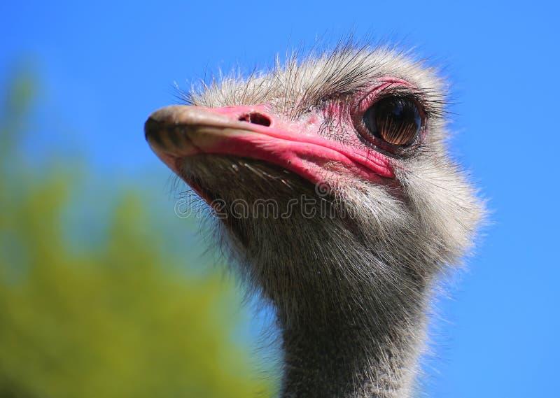 关闭头共同的驼鸟(非洲鸵鸟类骆驼属)从品种津巴布韦蓝色 图库摄影
