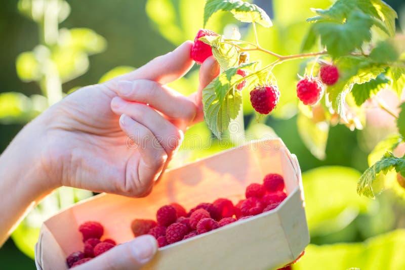 关闭妇女采摘莓和放入木Ba 免版税库存照片