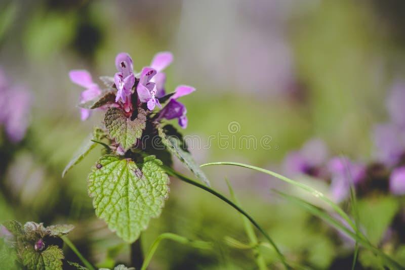 关闭宝盖草purpureum反对梦想的背景 免版税库存照片