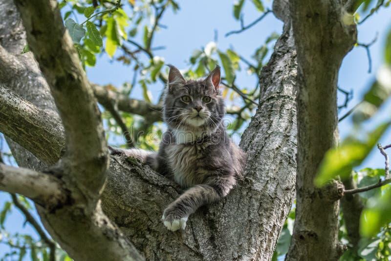 关闭家养的可爱的黑灰色缅因浣熊小猫,幼小平安的猫在阳光天 免版税库存照片