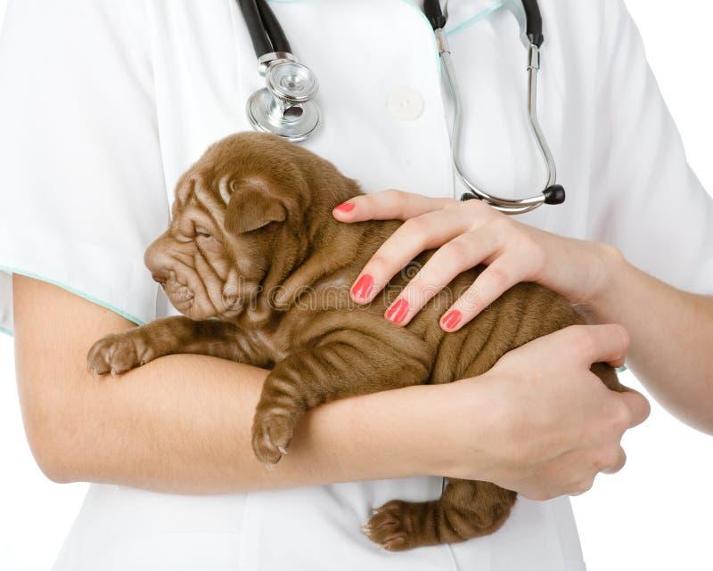 关闭小狗在手上的sharpei狗在兽医。 免版税库存照片