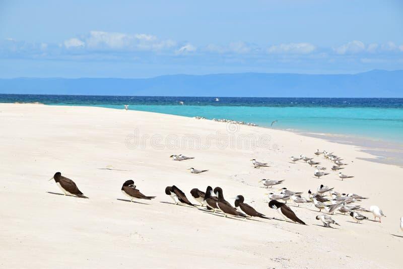关闭小组看法布朗笨蛋&有顶饰燕鸥鸟在Michaelmas岩礁用美丽的美好的白色沙子&土耳其玉色水 免版税库存照片