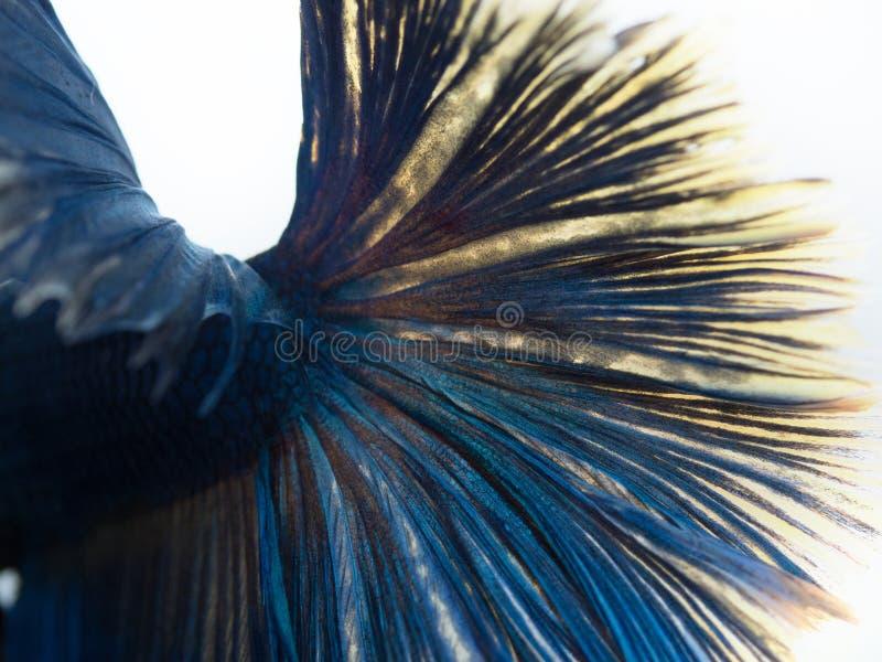 关闭尾巴在白色背景的betta鱼 免版税库存照片