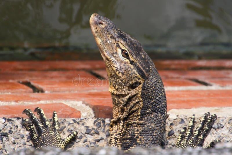 关闭居住在下水道系统的亚洲水监控器蜥蜴巨晰属salvator头和爪  免版税库存图片