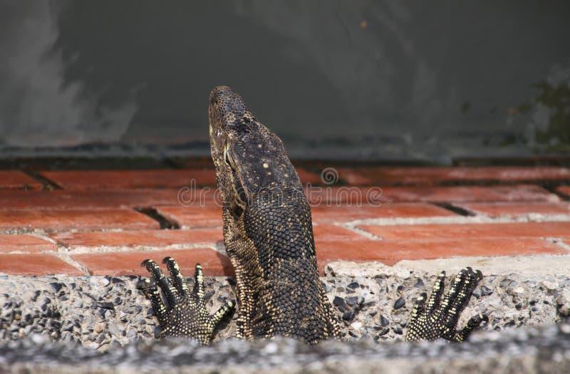 关闭居住在下水道系统的亚洲水监控器蜥蜴巨晰属salvator头和爪  免版税库存照片