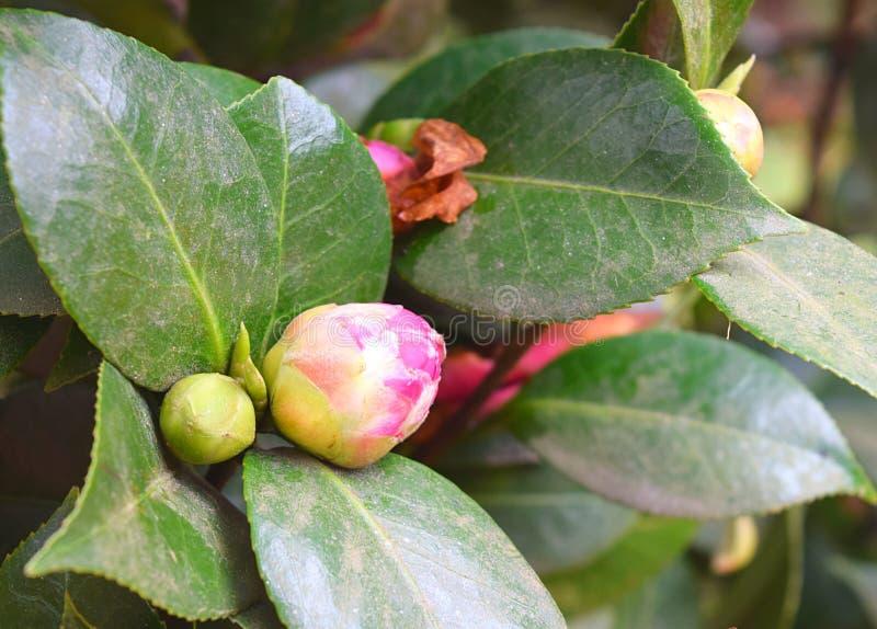 关闭山茶花Japonica -与绿色叶子的桃红色木罗斯花的芽在背景中 免版税库存图片