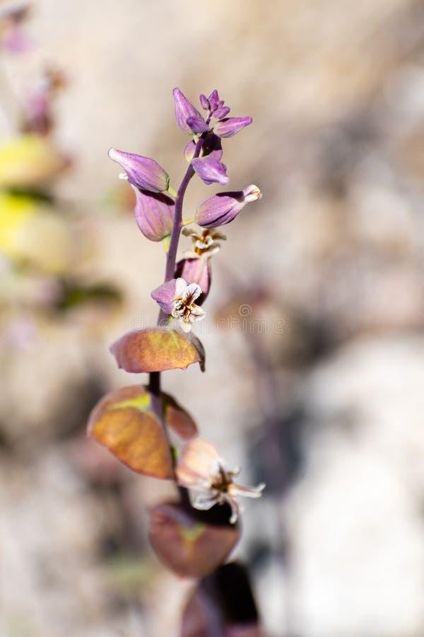 关闭山Jewelflower Streptanthus tortuosus开花在高海拔的在优胜美地国家公园在夏天,山脉 图库摄影