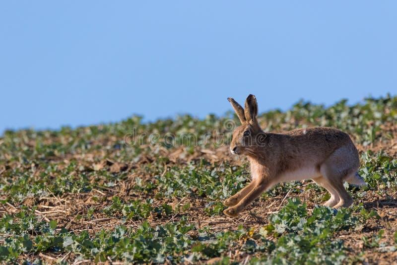关闭布朗野兔跑从权利的天兔座europaeus 免版税库存照片