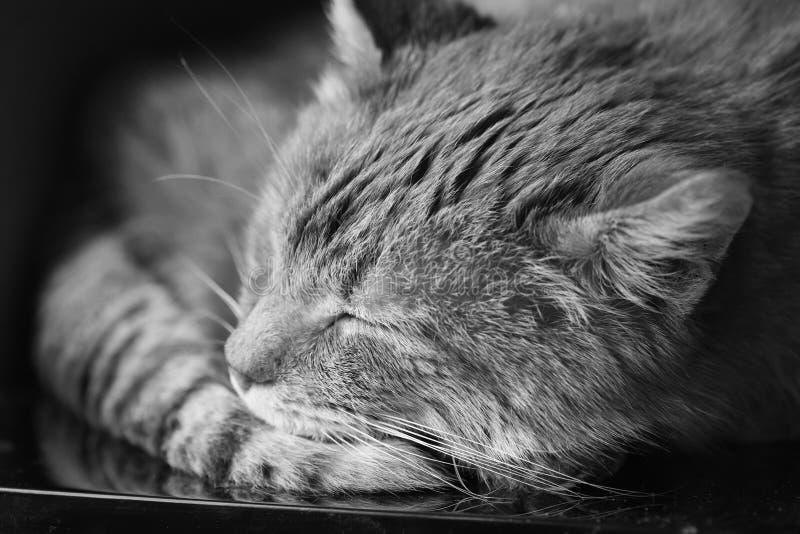 关闭平安的猫卷曲睡觉在他的床上 免版税库存照片