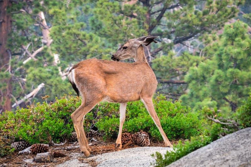 关闭年轻人黑被盯梢的鹿,优胜美地国家公园,加利福尼亚 免版税库存照片
