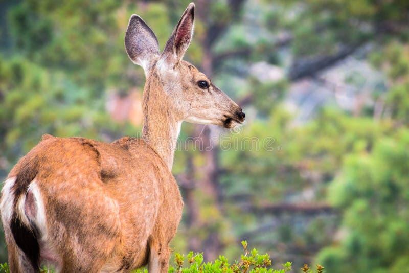 关闭年轻人黑被盯梢的鹿 免版税库存照片