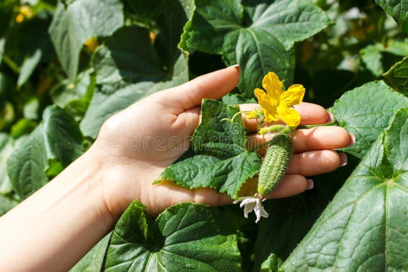 关闭年长妇女农夫手检查黄瓜 健康吃和农业概念 图库摄影