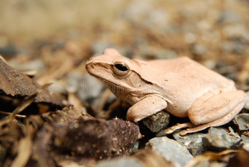 关闭并且聚焦灌木青蛙,多聚鸟足状的leucomystax,雾雨蛙/类型本质上 图库摄影