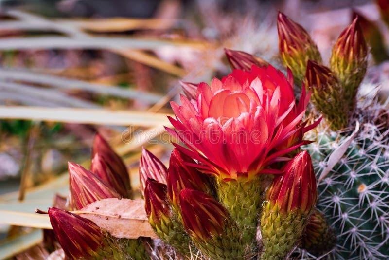 关闭开花在一个庭院里的猬Echinopsis仙人掌的红色花在加利福尼亚 免版税库存图片