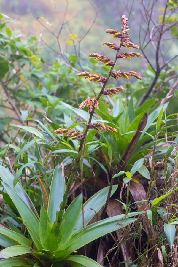 关闭开花在热带气候的狂放的bromeliad花 免版税库存图片