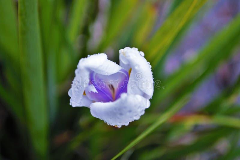 关闭开花在雨中的一棵白色紫色和黄色虹膜花蕾 免版税图库摄影